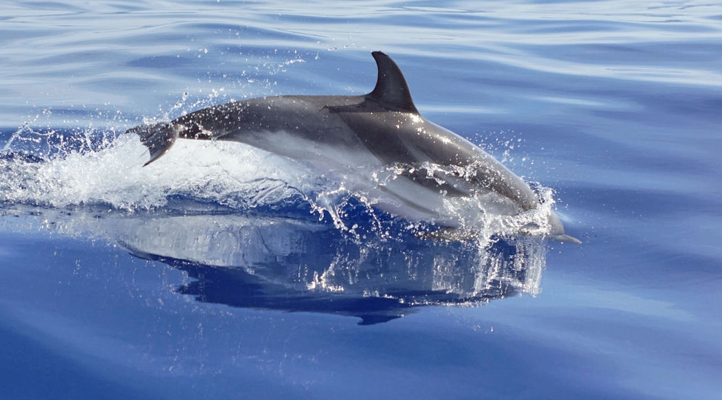 Animal Wildlife Animals In The Wild Beauty In Nature Dolphin Dolphin Jumping Dolphin Mediterranean Dolphin Swimming Sea Life