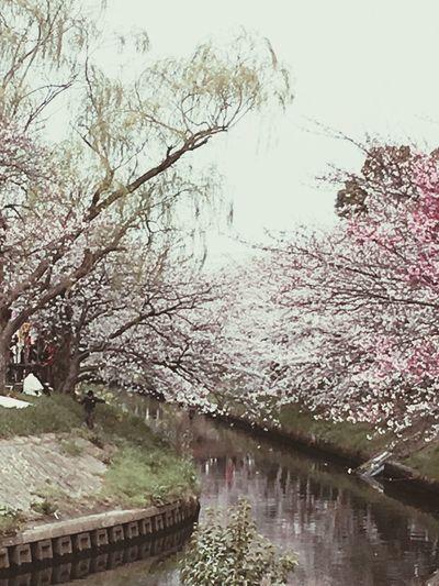 桜 Relaxing Cherry Spring Has Arrived Springtime EyeEm Nature Lover EyeEmbestshots Cherry Blossoms