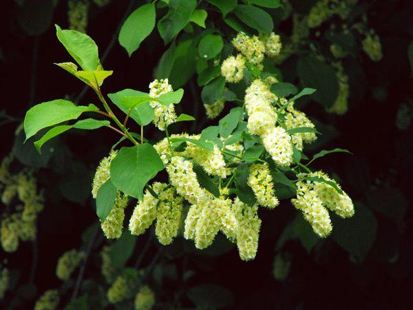 ... a gentle enchantment... Flowers Blossom Bird Cherry Tree Beautiful Nature черёмуха Flores Fleurs Naturaleza