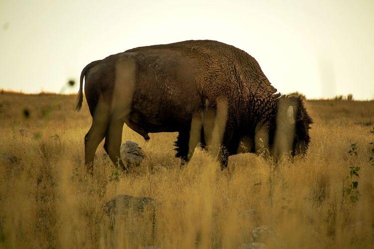 Side view of elephant grazing on field