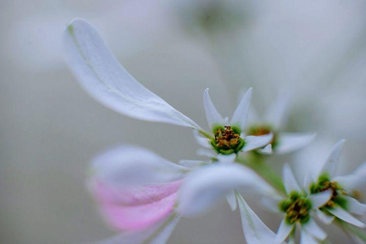 White Christmas tree's flower (Euphorbia leucocephala) - macro White Christmas Tree Flower Macro Leafs White Pink Flower Close-up Focus