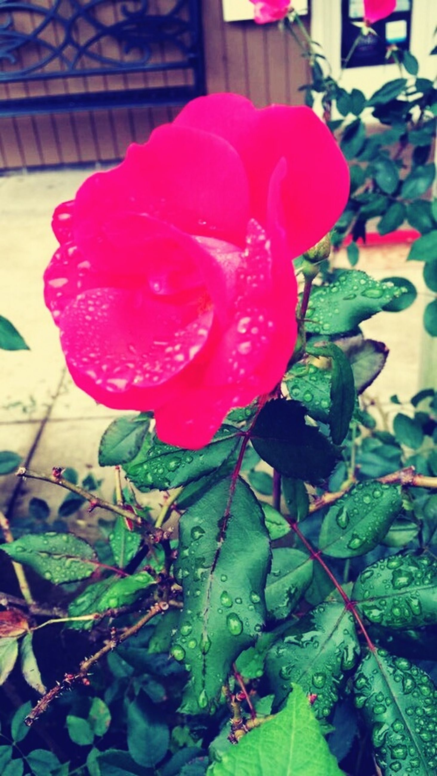 flower, petal, fragility, freshness, flower head, leaf, rose - flower, growth, plant, beauty in nature, close-up, pink color, blooming, nature, single flower, red, focus on foreground, rose, in bloom, day