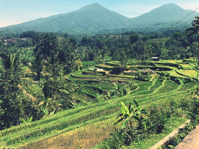 Agriculture Mountain Landscape Nature Tranquil Scene Tranquility Beauty In Nature Scenics Field Farm Growth Rural Scene Outdoors Green Color No People Day Mountain Range Terraced Field Tree Rice Paddy