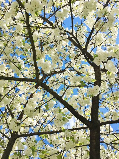 Looking up Cherry Blossoms in full bloom. Flower Tree Cherry Blossoms White Cherry Blossom Spring Flowers Lookingup Cherry Blossom Closeup Cherry Tree Blue Sky