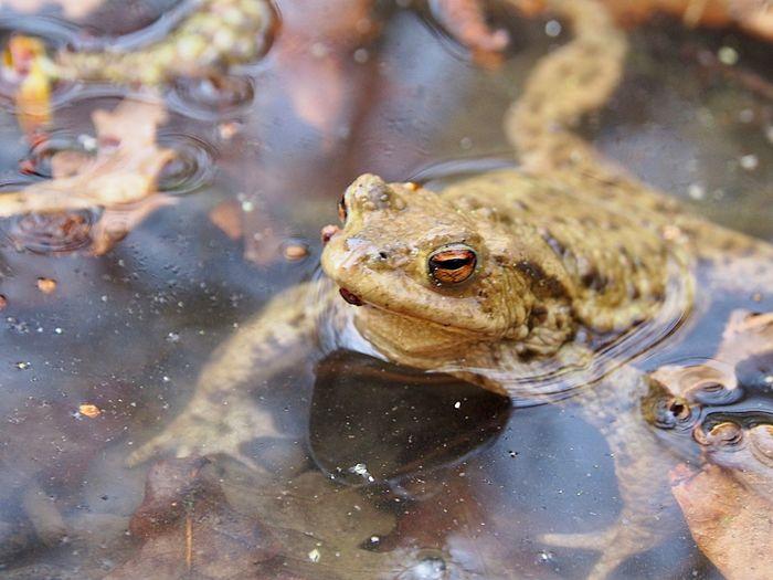 Golden Eye Toad