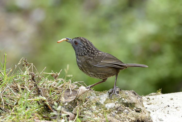 Animal Animal Themes Animal Wildlife Animals In The Wild Babbler Bird Close-up Day Focus On Foreground Land Nature No People One Animal Outdoors Perching Plant Rock Rock - Object Side View Solid Vertebrate