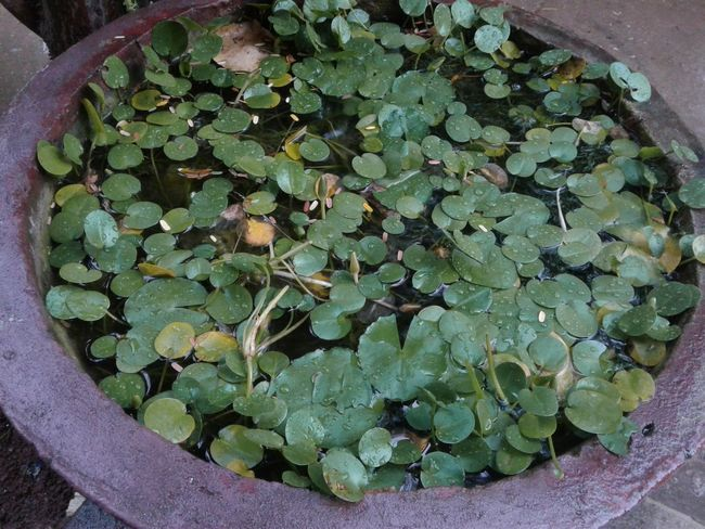 Beauty In Nature Close-up Clover Container Day Directly Above Floating On Water Freshness Green Color Growth High Angle View Hmong Hmoob Khaimoua Large Group Of Objects Leaf Nature No People Outdoors Plant Plant Part Potted Plant Water