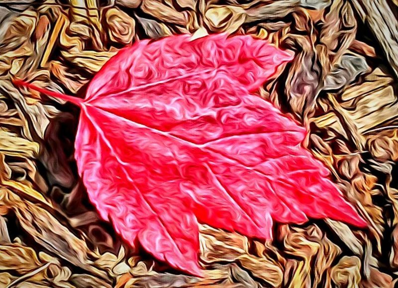 Red Leaf Carries Picks From My Point Of View Fragility Oregon State Feel The Journey Colorful Leaves Red Leaves Special Moment The Portraitist - 2017 EyeEm Awards Freshness Arts Culture And Entertainment Oregon Beauty Oregonexplored Oregon Oregon Art My Year My View Love Photography Getty Images Showcase July EyeEm Gallery Close-up Oregon Glow Illuminated Nature Sommergefühle EyeEm Selects