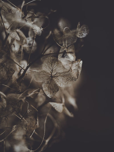 Dark and moody macro dead hydrangea skeleton Plant Growth Close-up Beauty In Nature Vulnerability  Fragility Flower No People Flowering Plant Leaf Nature Selective Focus Petal Plant Part Freshness Day Flower Head Focus On Foreground Tranquility Outdoors Dead Plant Wilted Plant Leaves