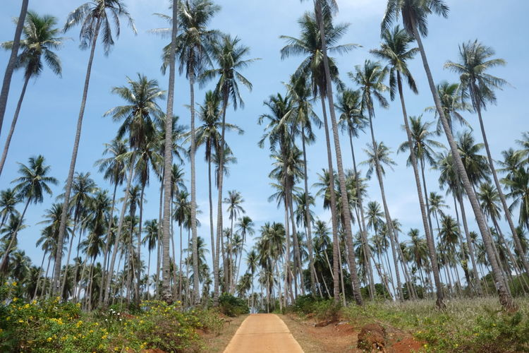 Coconut trees Blue Clear Sky Coconut Coconut Trees Green Green Color Growth Landscape Long Narrow Nature Outdoors Palm Tree Solitude Tall - High Tree