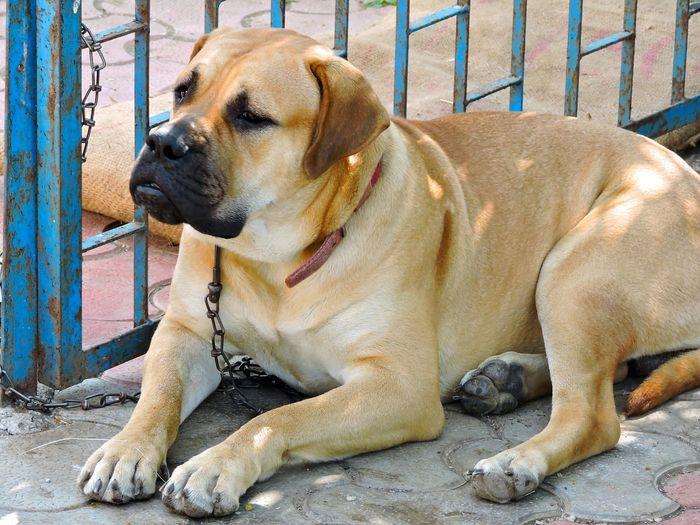 Bulldogs Dog Love Big Dog Pet Dog  Dog Lover Dogs