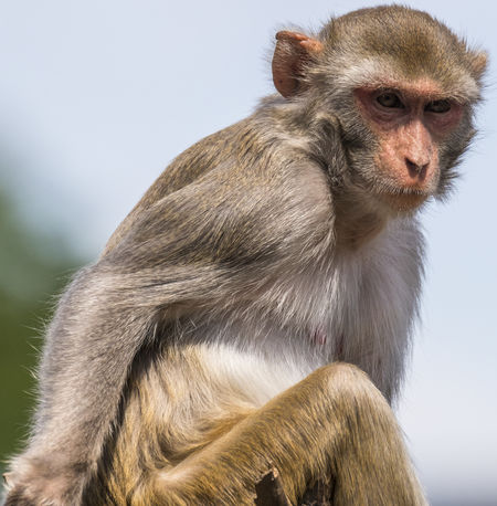Animal Themes Animal Wildlife Animals In The Wild Baboon Close-up Day Mammal Monkey Nature No People One Animal Outdoors Rhesus Macaque Rhesus_macaque