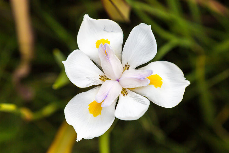 An African Iris African Iris Beauty In Nature Blooming Close-up Day Flower Flower Head Focus On Foreground Fragility Freshness Growth Iris Nature No People Outdoors Petal Plant Springtime White Color