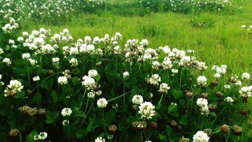 Clover Flower Clover FieldFlowerporn
