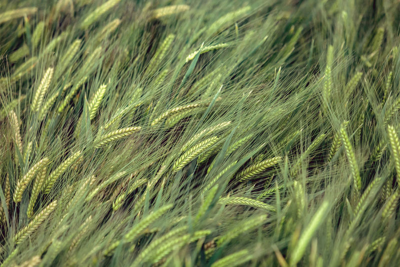 background of barley field in Yunnan; China. Agriculture Backgrounds Beauty In Nature Cereal Plant Close-up Crop  Day Ear Of Wheat Field Freshness Full Frame Grass Green Color Growth Nature No People Outdoors Plant Rural Scene Tranquility Wheat