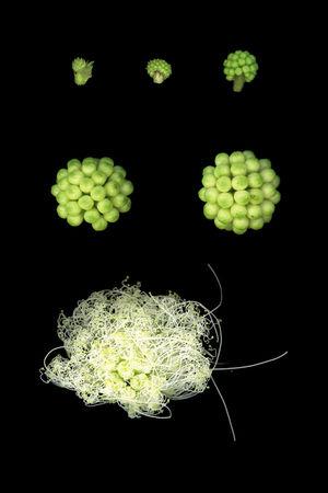 Calliandra haematocephala blooming process Blooming Process Calliandra Haematocephala Flower Blooming