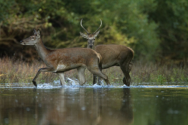 Deers in sidebranch of the drava river