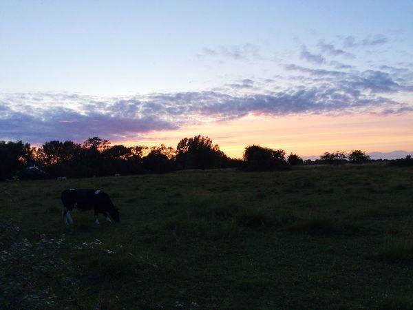 Field Cow Grass Nature