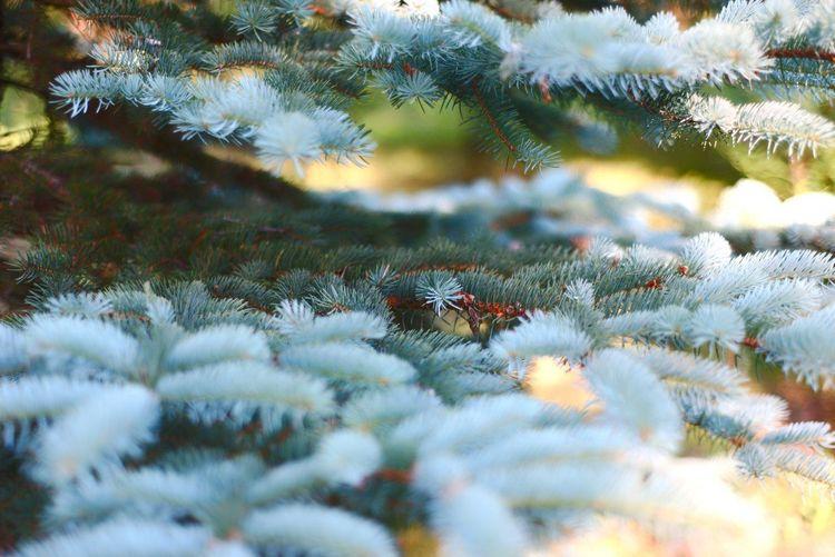 Nature Pine