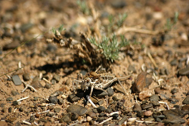 Gobi Desert Mongolia Animal Animal Themes Animal Wildlife Animals In The Wild Arid Climate Close-up Cricket Day Dry Focus On Foreground High Angle View Insect Land Nature No People One Animal Outdoors Selective Focus Говь- Монгол улс