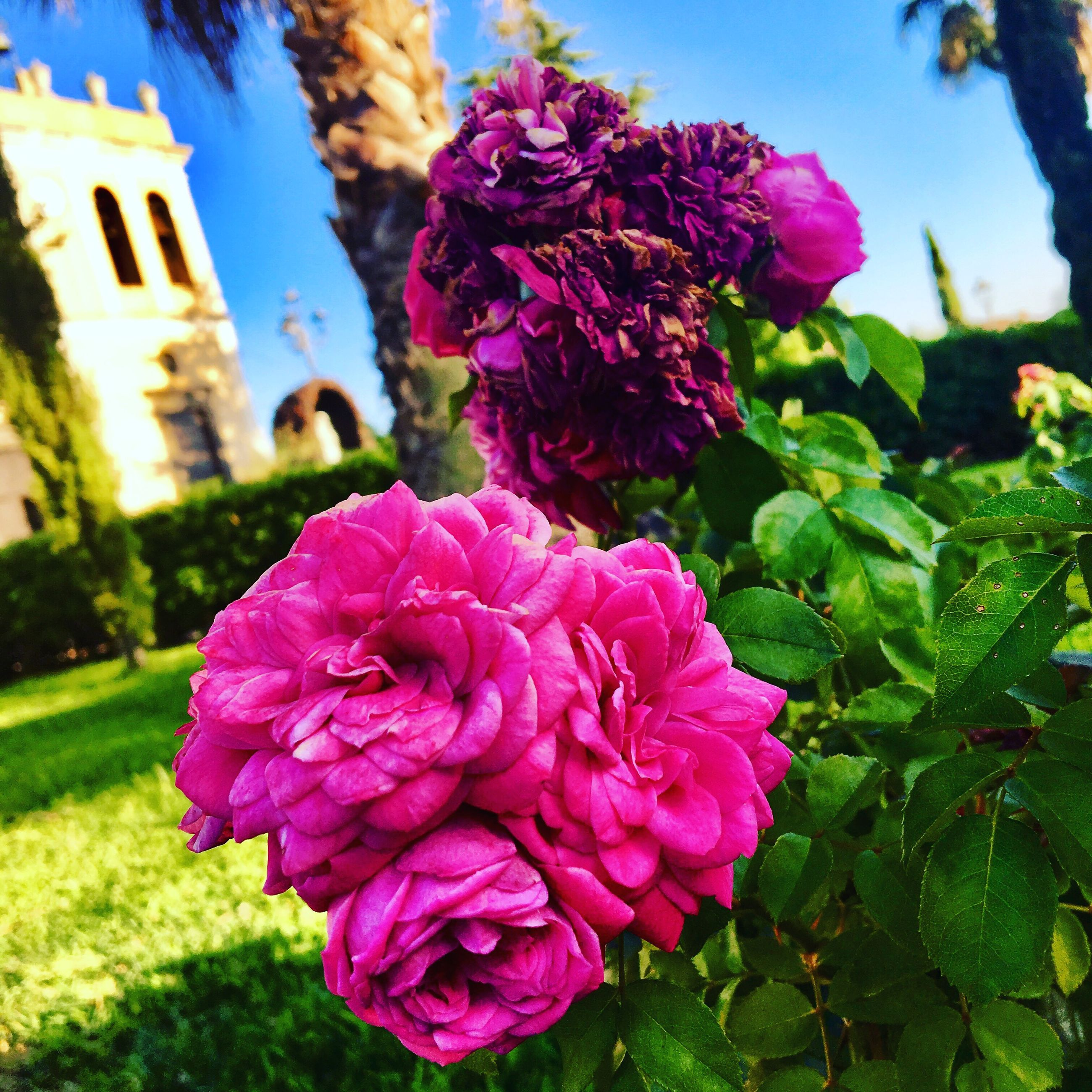 flower, petal, nature, fragility, beauty in nature, growth, outdoors, focus on foreground, day, flower head, pink color, blooming, freshness, plant, no people, close-up, architecture