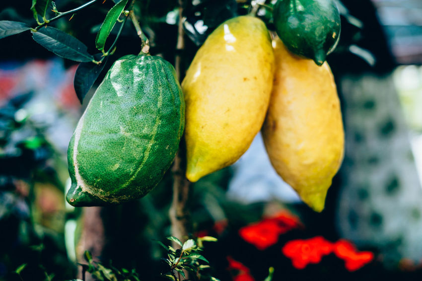 organically grown lemon Citrus  Copy Space Diet Plant Raw Backgrounds Beauty In Nature Day Focus On Foreground Food Food And Drink Freshness Fruit Green Color Growth Hanging Healthy Eating Ingredient Leaf Lemon Nature Outdoors Tree Vitamin C Yellow The Week On EyeEm