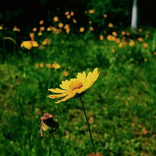菊花 黄 Vscocam VSCO yellow green sumner fujifilm x100s color Instagram instgood igersbeijing wild