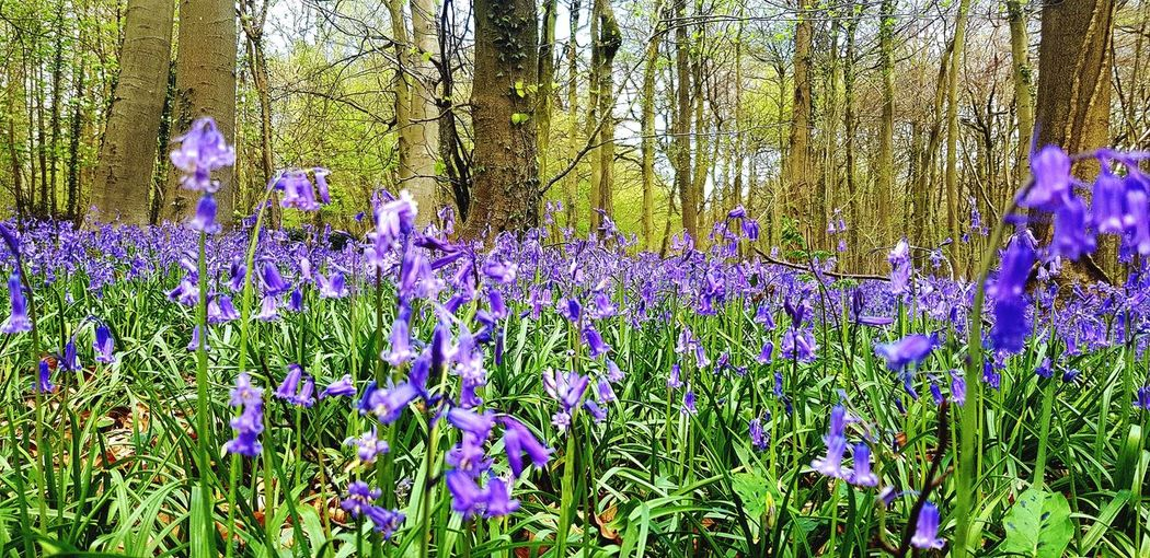 This Is Where I Live... Springtime Spring Flowers Blue Bluebell Wood Bluebells Flower Backgrounds Full Frame Purple Close-up Plant Green Color