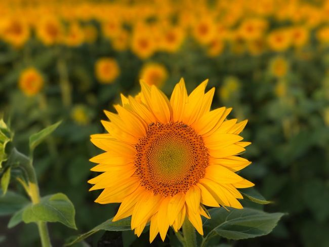 Paint The Town Yellow Flower Yellow Sunflower Beauty In Nature Enjoying Life EyeEm Best Shots Best EyeEm Shot