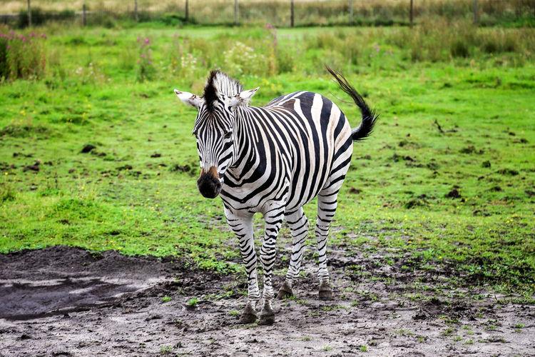 Zebra standing on grassy field