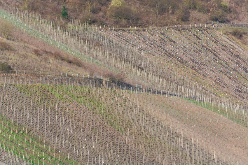 View of vineyards in beautiful Moselle valley in Germany Agriculture Beauty In Nature Crop  Day Environment Farm Field Growth In A Row Land Landscape Nature No People Outdoors Plant Plantation Rural Scene Scenics - Nature Tranquil Scene Tranquility Vineyard Winemaking