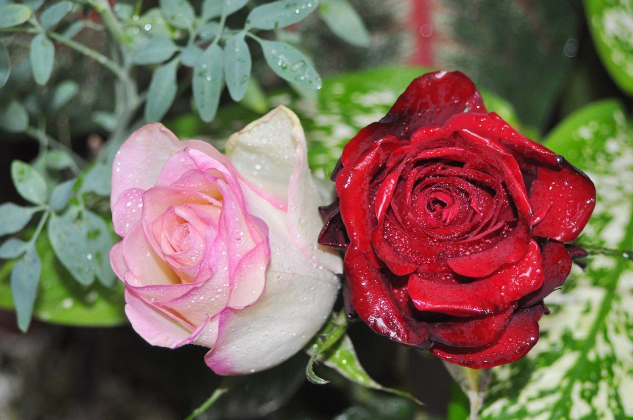 CLOSE-UP OF WET PINK ROSE IN WATER