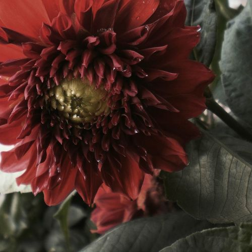 Beauty In Nature Blooming Close-up Dahlia Day Flower Flower Head Fragility Freshness Gerbera Daisy Growth Nature No People Outdoors Petal Pollen Red