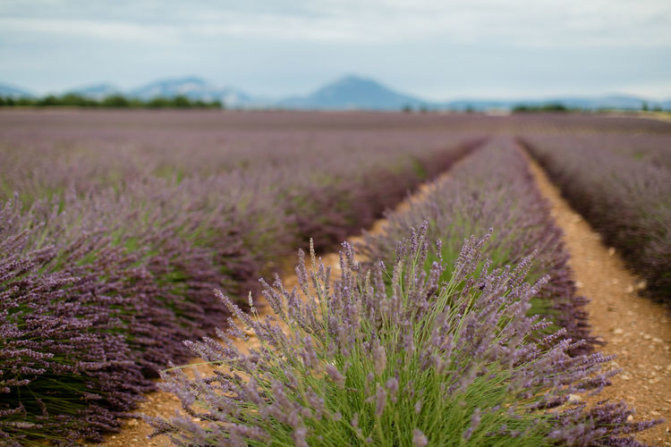 Beautiful lavender field near Valensole in France / Provence France Lavender Farm Lavender Field Nature Provence Beauty In Nature Flower Growth Landscape Lavendel Lavender Outdoors Valensole