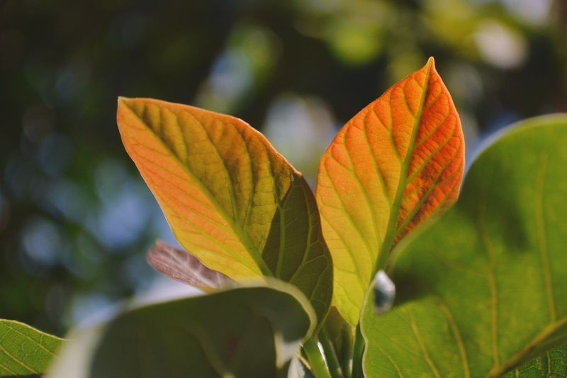 EyeEm Selects FreshnessNature Focus On Foreground Close-up Leaf Avocado Tree Avocado Leaf Avocado Red Leaves Red Leaf Plant Outdoors Growth Autumn Fall Beauty Fall Autumn Colors Perspectives On Nature Tranquility Uganda  Africa