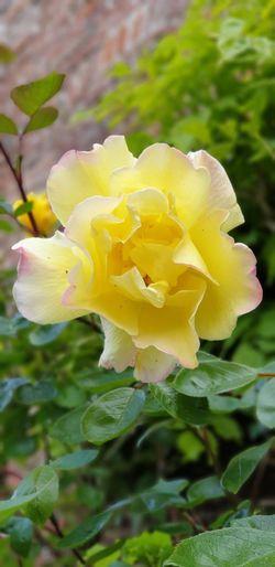 Roses EyeEm
