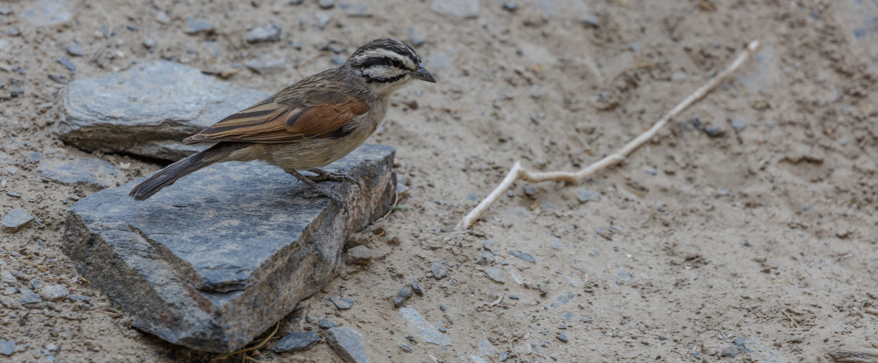 A Cape Bunting in Nauklft, a National Park of Namibia Southern Africa Namibia Naukluft Naukluft National Park Birds Bunting Cape Bunting Animal Wildlife Bird Animals In The Wild Outdoors Close-up Nature Travel Vacations Holidays