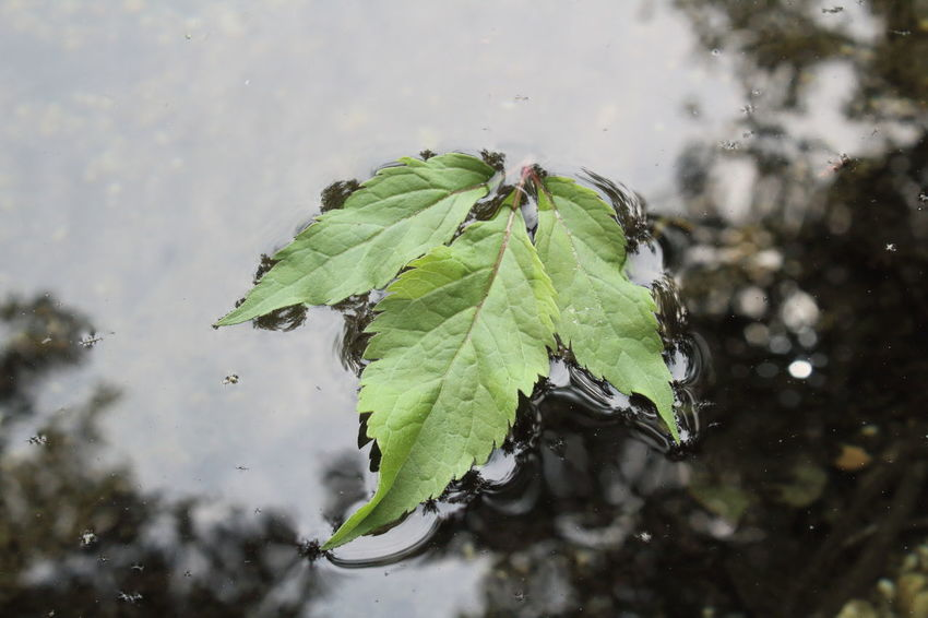 Afloat The Creative - 2018 EyeEm Awards The Great Outdoors - 2018 EyeEm Awards Beauty In Nature Close-up Day Drop Floating Leaf Floating On Water Focus On Foreground Green Color Growth Leaf Leaves Nature No People Outdoors Plant Plant Part Purity Rain Rainy Season Selective Focus Water Wet