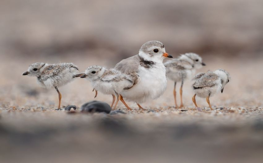 Piping plover Piping Plover EyeEm Selects Animal Themes Group Of Animals Animal Bird Animals In The Wild Animal Wildlife Young Animal Winter Outdoors Medium Group Of Animals No People Side View Selective Focus Three Animals Vertebrate Young Bird Nature Land Animal Family Day