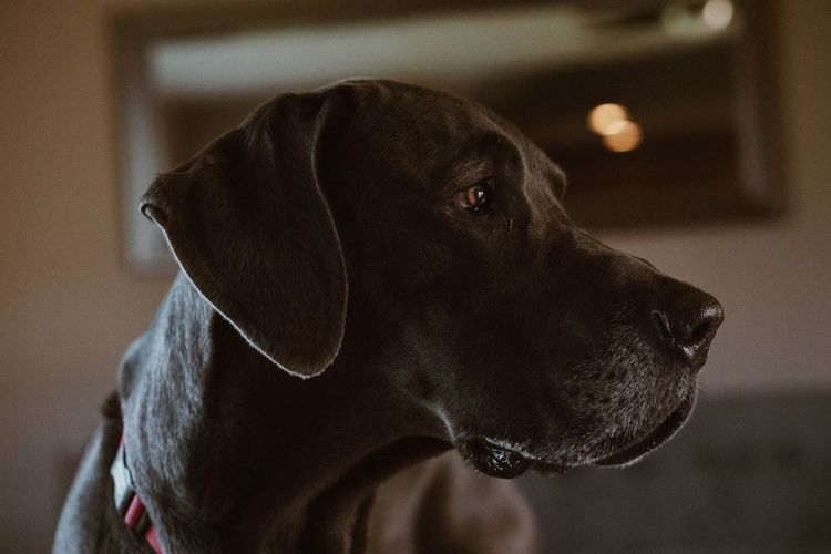 Great Dane Great Dane Pets Dog Portrait Sofa Close-up