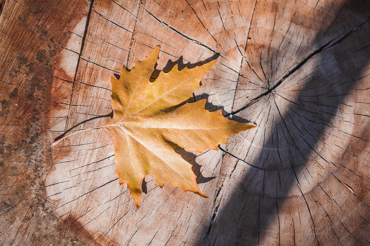 High angle view of maple leaf on tree stump