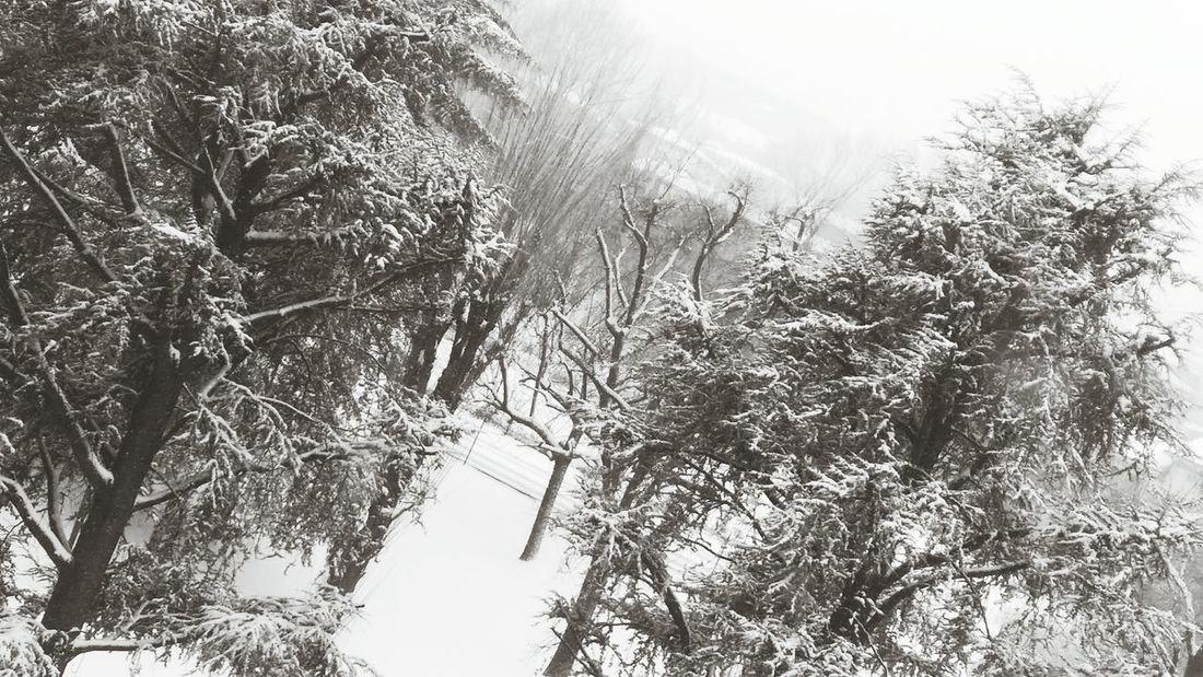 Freddo Marzolino Natura Neve Alberi Cedri Manto Nevoso