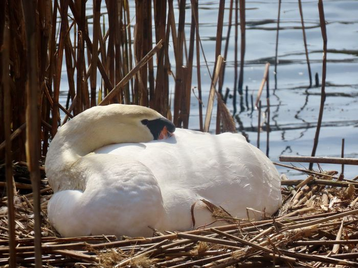 Swan female mute swan nesting birds of EyeEm animal themes beauty in nature water birdwatching closeup Animals In The Wild Nature One Animal Resting No People