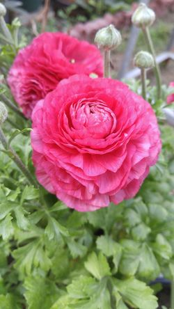 Freshness Flower Petal Close-up Beauty In Nature Pink Color Springtime Single Flower Day Selective Focus Nature Baghdad Baghdad , Lraq