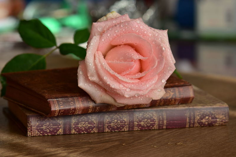 Nature Pink Rose Water Droplets Close-up Day Flower Freshness Indoors  No People Old Books Rosé Table Wet Rose