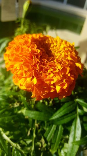 Flower Fragility Freshness Flower Head Nature Petal Beauty In Nature Plant Orange Color Close-up Yellow Marigold No People Pollen Day Outdoors Diadelosmuertos EyeEm Photo Of The Day Beauty In Nature Dayofthedead Eyeemphotography Flordecempasuchil Spirituality Flower Photography