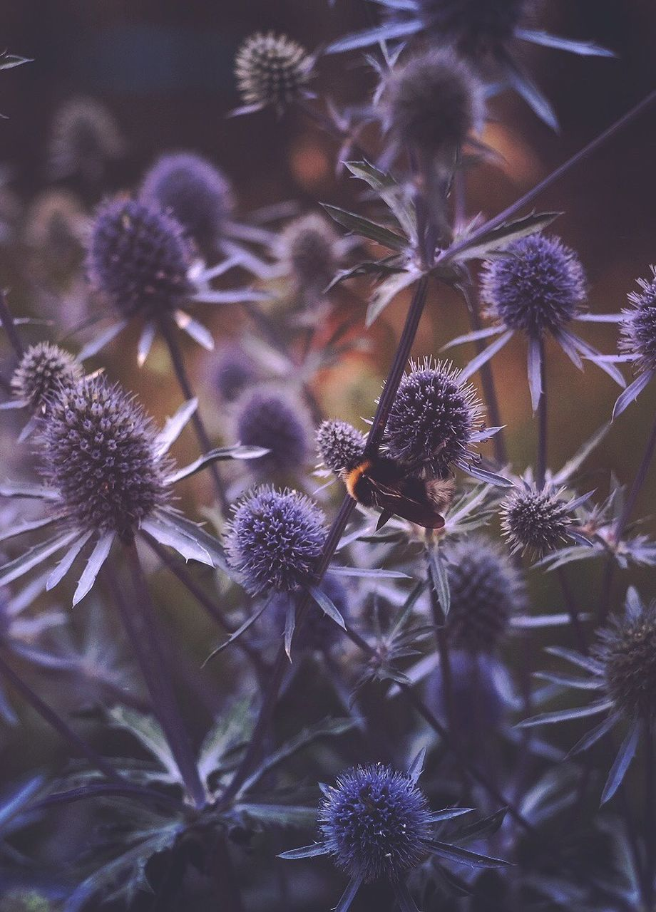 flower, flowering plant, plant, freshness, vulnerability, fragility, growth, beauty in nature, petal, close-up, flower head, inflorescence, nature, no people, day, purple, selective focus, focus on foreground, outdoors, thistle, pollination