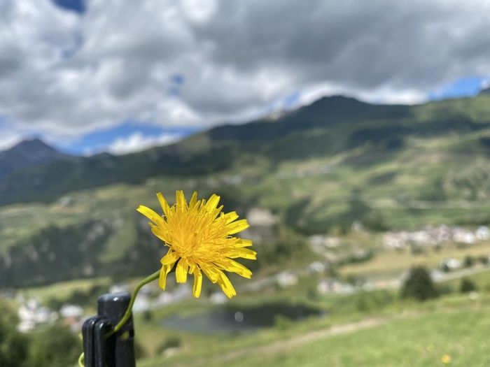Close-up of yellow flowering plant against mountain