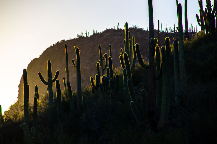 cacti sunset