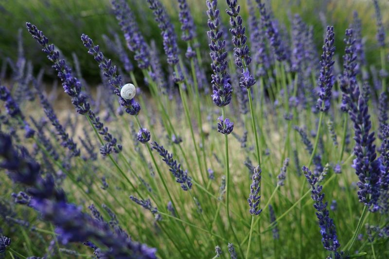 Growth Field Nature Lavender Plant Outdoors Beauty In Nature Rural Scene Agriculture Purple Flower Fragility Tranquil Scene No People Close-up Day Landscape Grass Lavender Colored Freshness